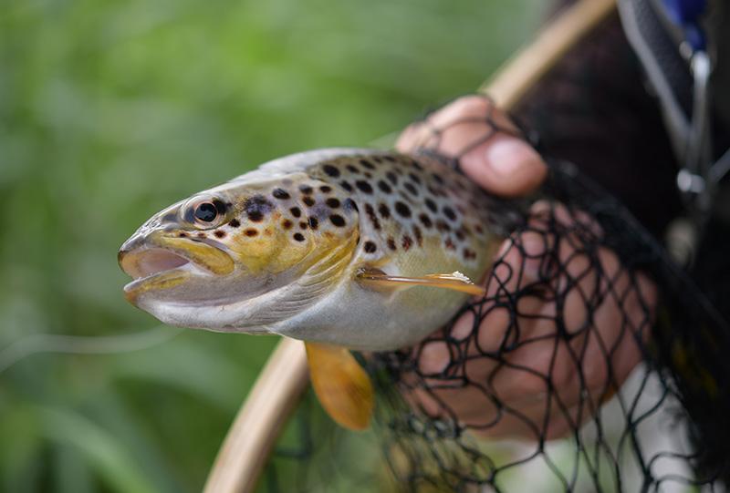 Close up Trout